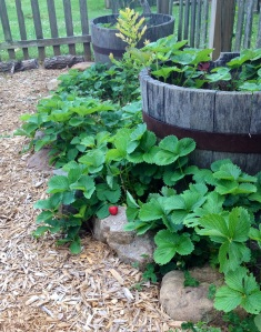 Our Strawberry Patch